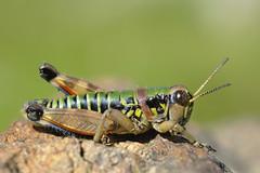 Cophopodisma pyrenaea male