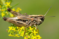 Omocestus navasi bellmanni female