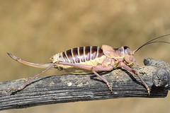 Ephippiger diurnus cunii male - Photo of Caramany