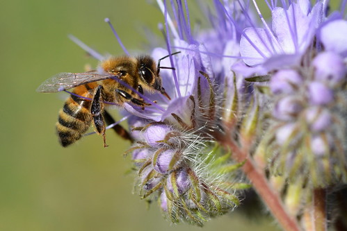 Honey bee on Phacelia tanacetifolia