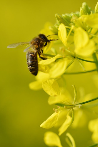 Honey bee on White mustard