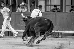 La Pescalune 2019 (Course Camarguaise), Arènes de Lunel, Hérault, France