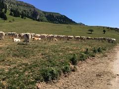 Col de Beyrède, Grazing Cows, Beyrède-Jumet, France, mobile 2