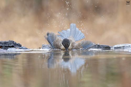 Pega-Azul, Azure-winged magpie(Cyanopica cyanus)