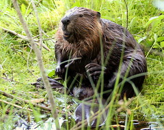 The funny beaver in the wilderness.