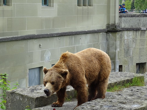 Oso pardo en Fosa de los Osos Berna Suiza 02