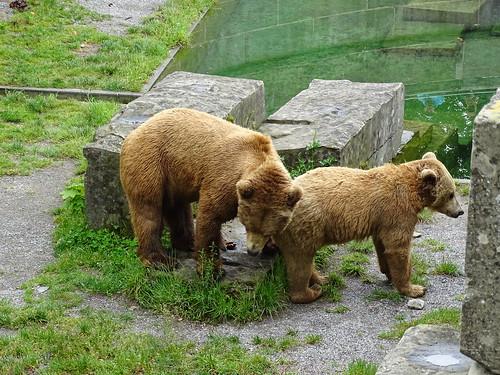 Oso pardo en Fosa de los Osos Berna Suiza 06