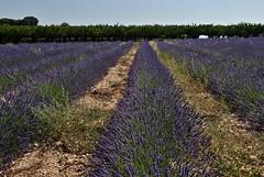 les lavandes du Gard