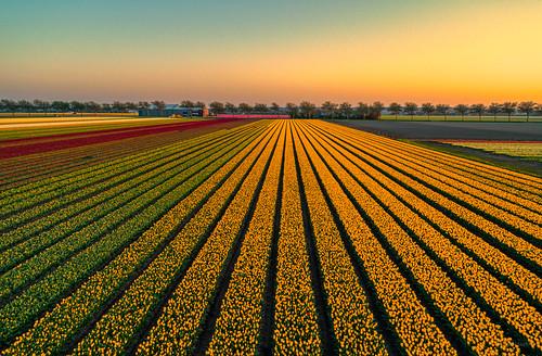 Colourful tulips, vibrant sky.