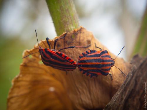 Pyjamaschildwants Graphosoma italicum... (1 van 1) P7200049