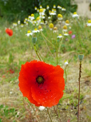 St Emilion - poppies