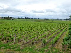 St Emilion - vineyards (2)