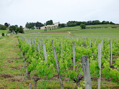 St Emilion - vineyards (4)