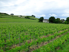 St Emilion - vineyards (7)
