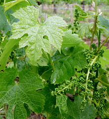St Emilion - vineyards, grapes