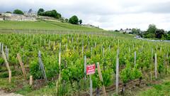 St Emilion - vineyards (11)