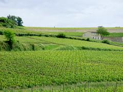 St Emilion - vineyards (9)