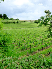 St Emilion - vineyards (8)
