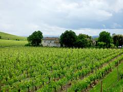 St Emilion - vineyards (10)