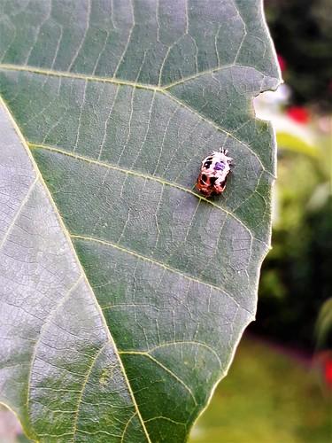 Marienkäfer (unbestimmt) (Coccinellidae indet.) (1)