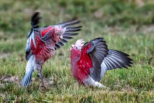 Young Male Galahs Playing in Albury NSW