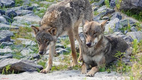 Wolf - 7110