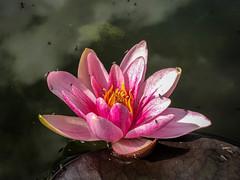 Lotus at the Ascog Fernery
