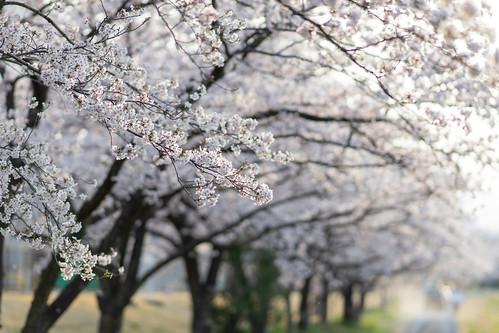 20190407-164409_kodama-senbon-zakura_ILCE-7M2