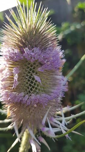 Kaardebol in bloei