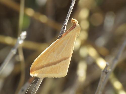 Rhodometra sacraria (The Vestal) (Geometridae)