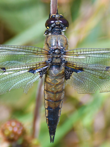 Four-spotted Chaser-Skimmer (Libellula quadrimaculata) Dragonfly