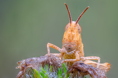 Insekten - Hüpfer