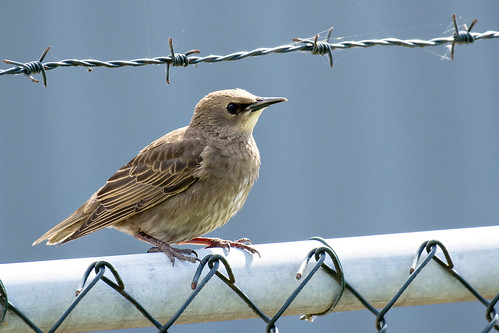 Jonge Spreeuw-Common Starling (Sturnus vulgaris)