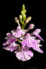 Photo:[Simokoshiki Is. Kagoshima, Japan / 鹿児島県下甑島] Ponerorchis graminifolia var. nigropunctata '#5610' F.Maek. ex K.Inoue, Fl. Japan 4b: 204 (2016) By sunoochi
