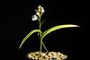 Photo:[Simokoshiki Is. Kagoshima, Japan / 鹿児島県下甑島] Ponerorchis graminifolia var. nigropunctata '延寿丸 / Enjyumaru #3285' F.Maek. ex K.Inoue, Fl. Japan 4b: 204 (2016) By sunoochi