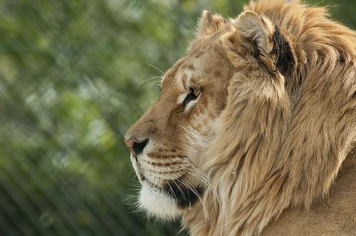 Panthera - Liger (Hybrid Panthera leo x Panthera tigris - male Lion x female Tiger)