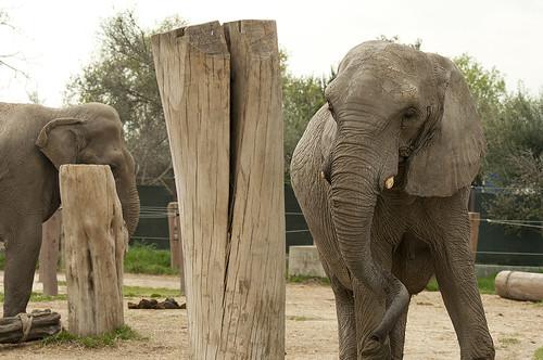 Loxodonta africana Elephas maximus - African Elephant Asian Elephant
