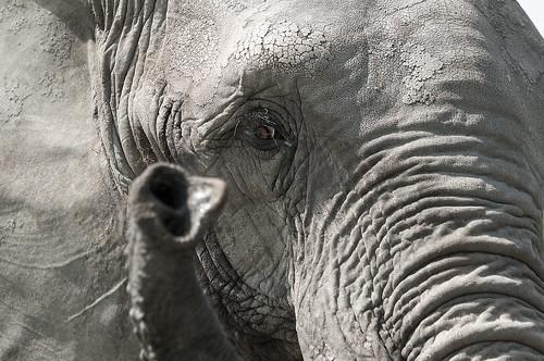Loxodonta africana - African Elephant