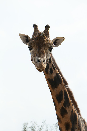 Giraffa camelopardalis rothschildi - Rothschild's giraffe