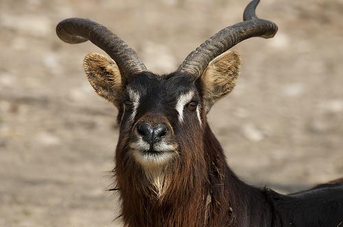 Kobus megaceros - Nile Lechwe