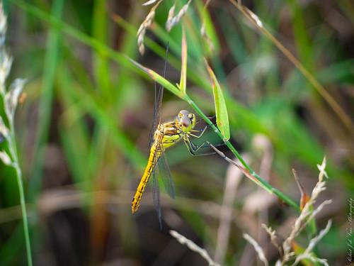 Dragonfly...-7210009