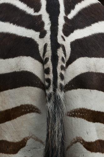 Equus quagga boehmi - Grant's Zebra