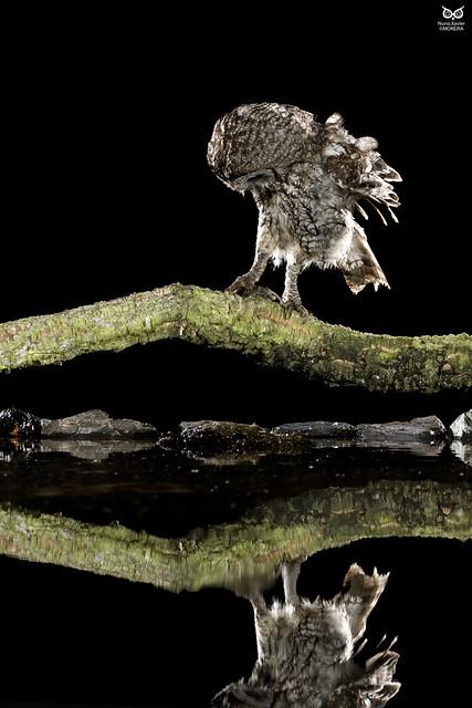 Coruja-do-mato, Tawny Owl (Strix aluco)