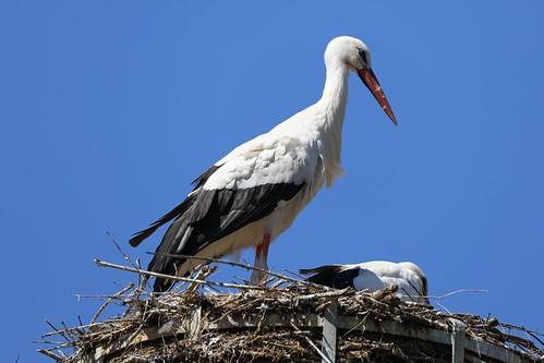 White Stork (Hvid Stork), Munster
