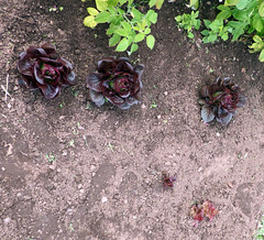 Three Good Lettuces Remaining With Two Scraps Starting to Take Shape