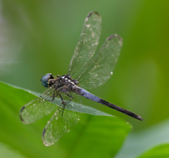 Gray-waisted Skimmer