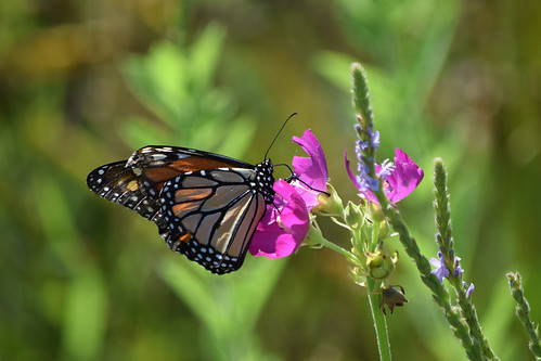 Monarch on Clustered Poppy Mallow