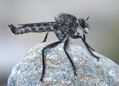 Unidentified Robberfly (Eutolmus rufibarbis ?), Vallée du Dourdon, Le Collet-de-Dèze, Lozère, France - Photo of Saint-Andéol-de-Clerguemort