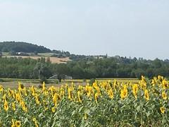 Sunflowers of Saint Antoine, Occitaine, France_mobile 2