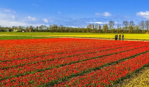 201804-Netherlands-Tulip